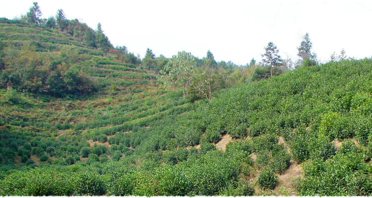Baita (White tower) tea garden in Keemun