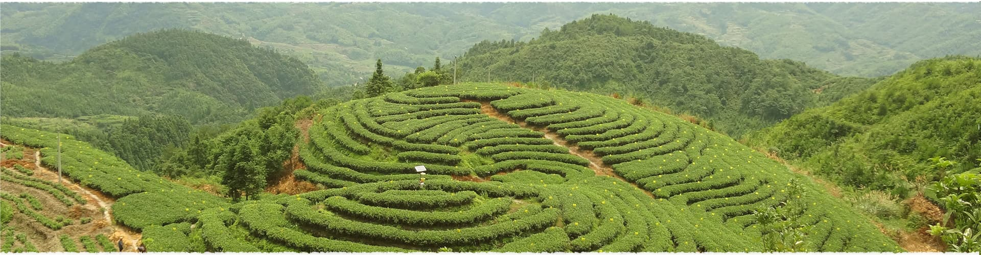 Nanguang Tea Garden