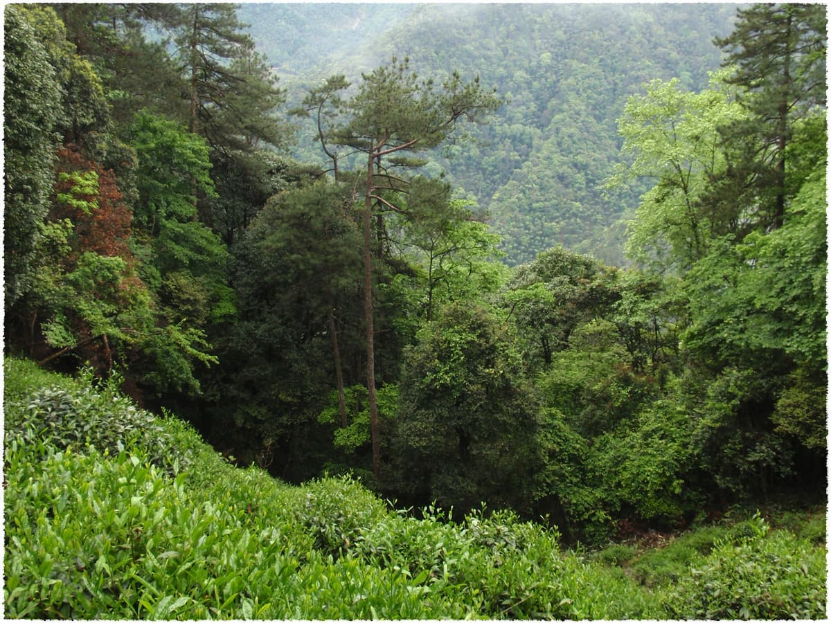 tongmu Tea Garden