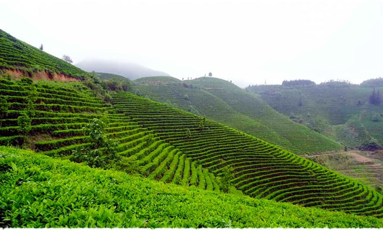 Yaming Bai Hao tea garden