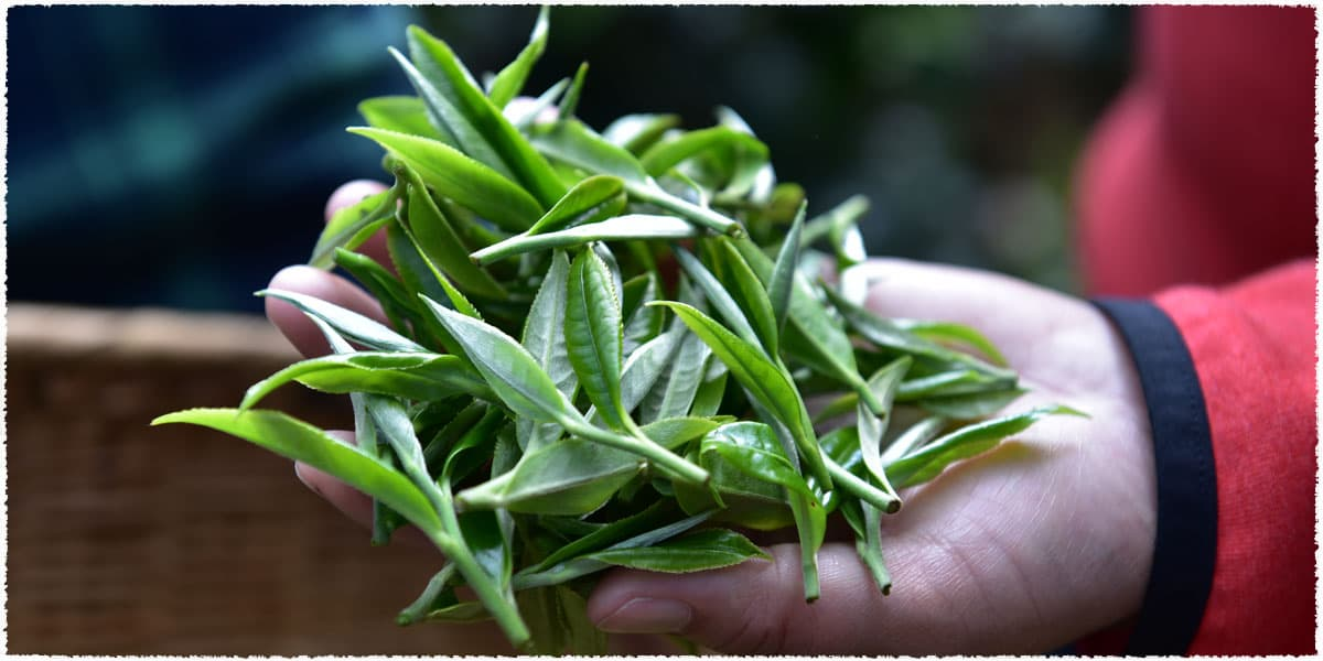 Feeling the freshness of the fresh tea leaves
