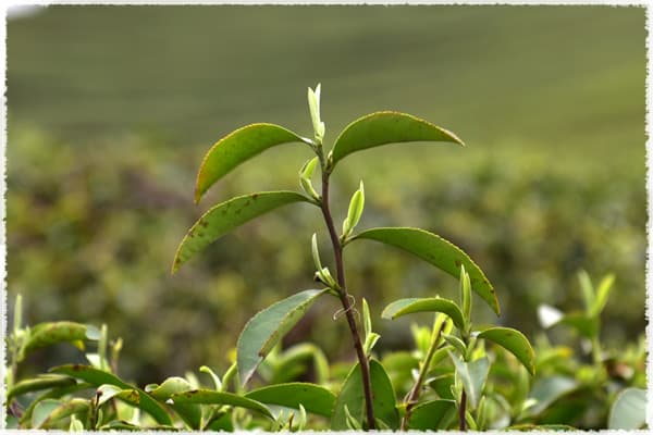 Jiukeng tea tree species