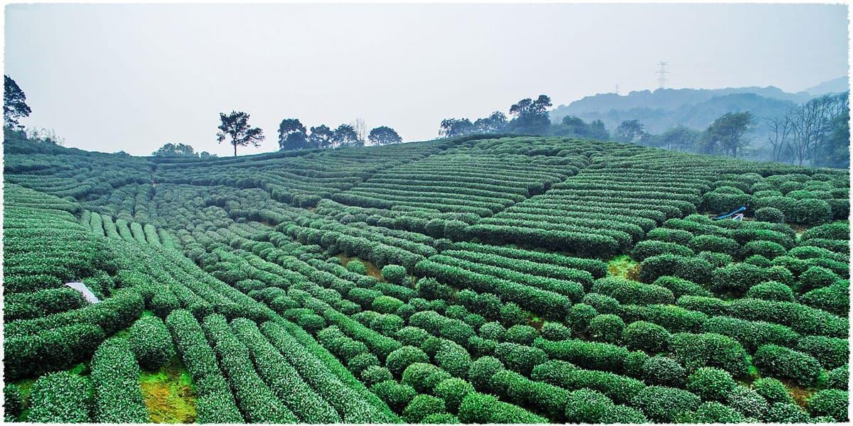 Dragon Well Green Tea (Xihu Long Jing) - Teavivre.com