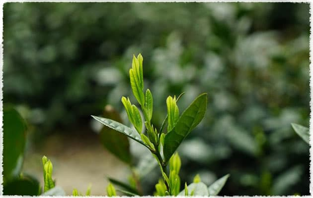 Shidacha tea tree
