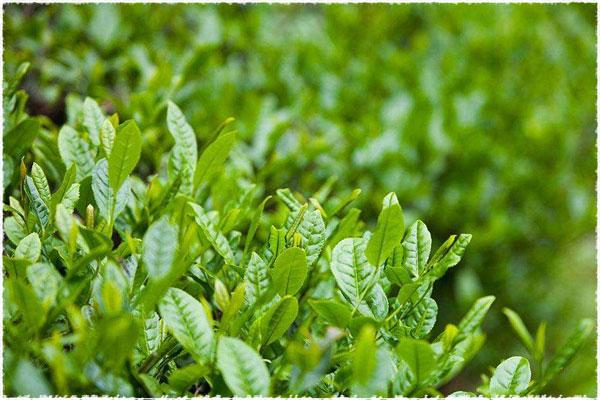 Théier petites feuilles