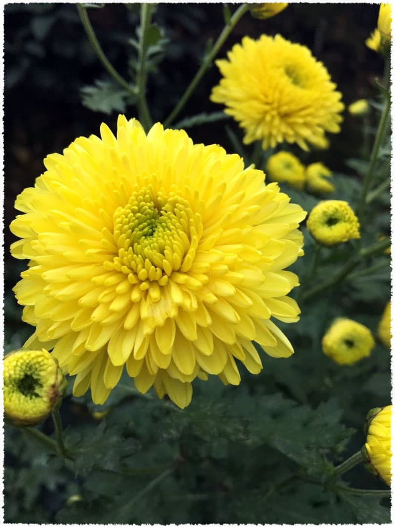Chrysanthemum blooming