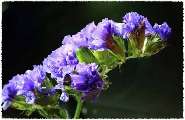 Dried Myosotis Sylvatica Flower Herbal Tea