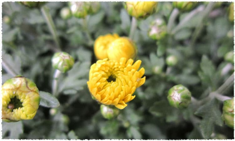 Dried chrysanthemum buds tai ju herbal tea teavivre all in all chrysanthemum tea is a daily must for people who spend lots of time with computers mightylinksfo