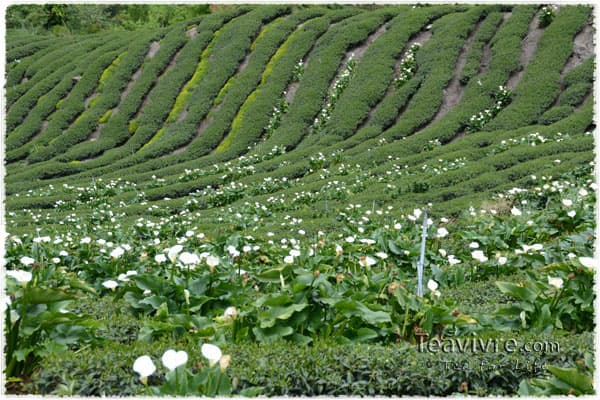 Calla lily in the tea garden