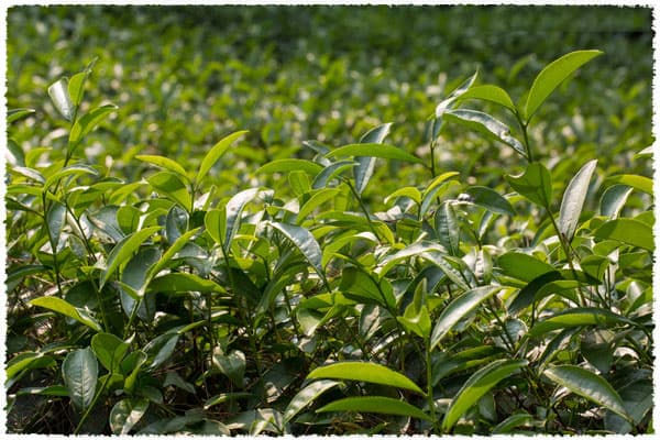 Da Hong Pao Tea Bush
