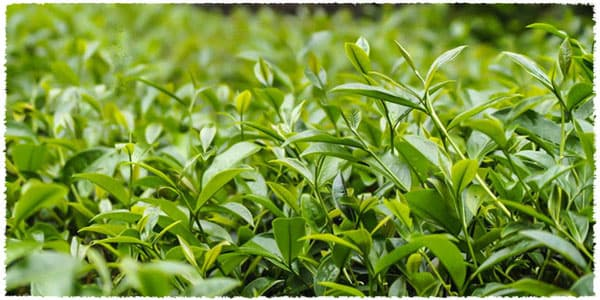 Huang guan yin tea bush