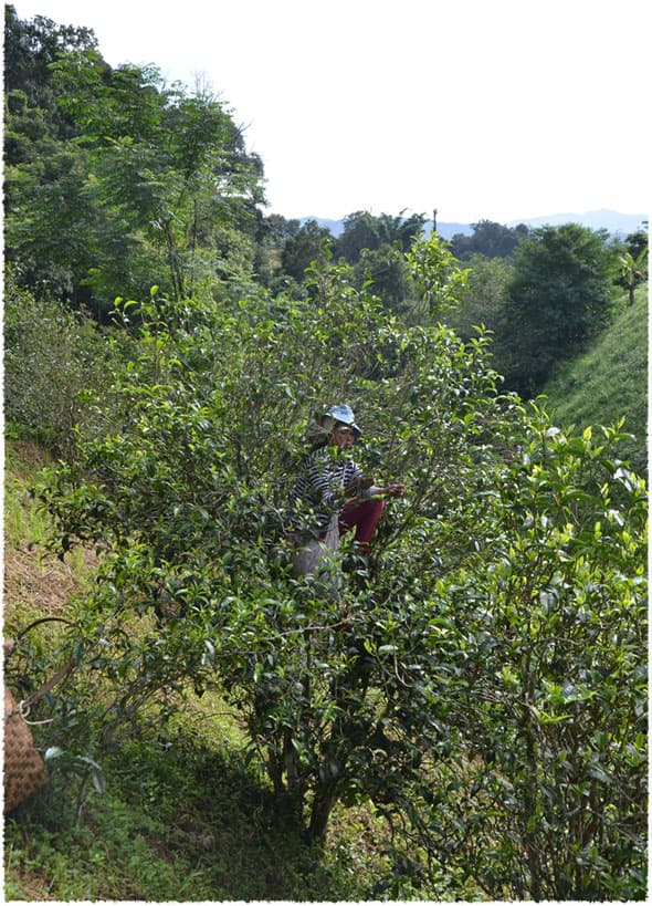 tea picking 2