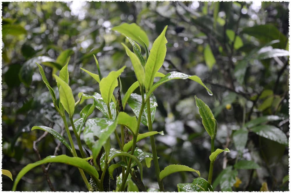 Menghai large leaf tea tree species