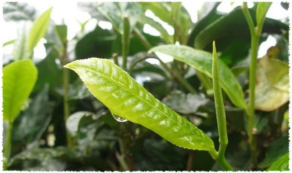 mengku large-leaf tea bush species