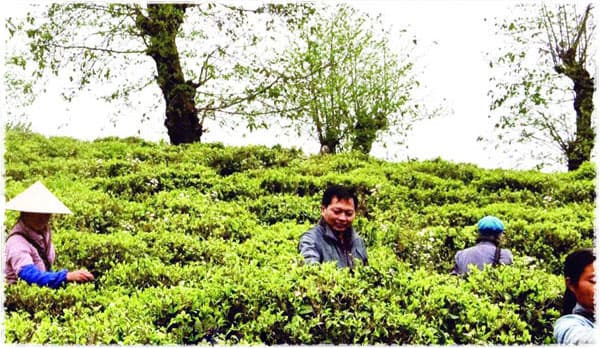 Tea Farmer Mr Zhou