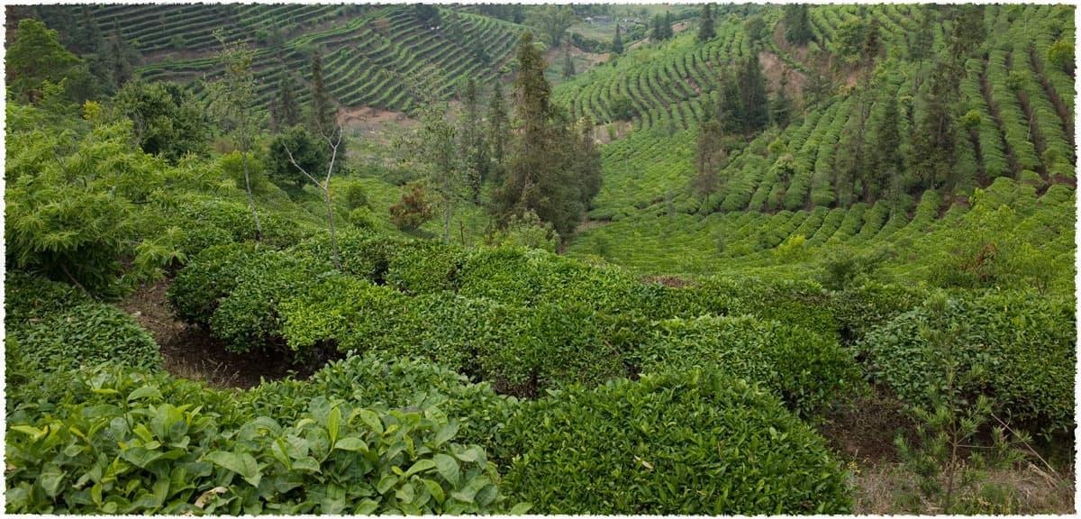 Ying Pan Shan Tea Garden
