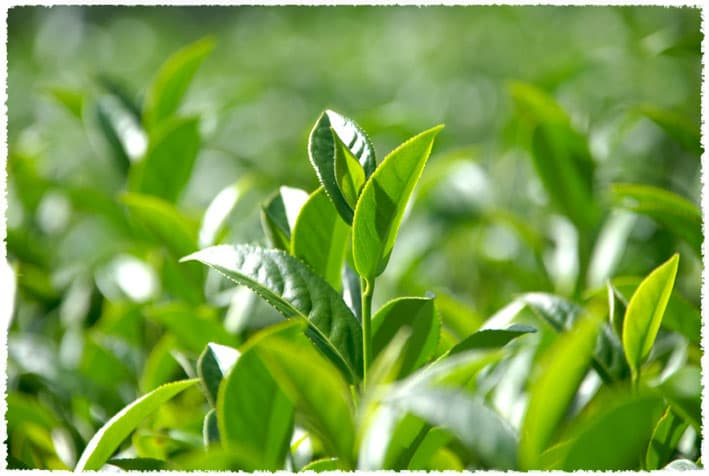 Yunnan Large-leaf tea tree
